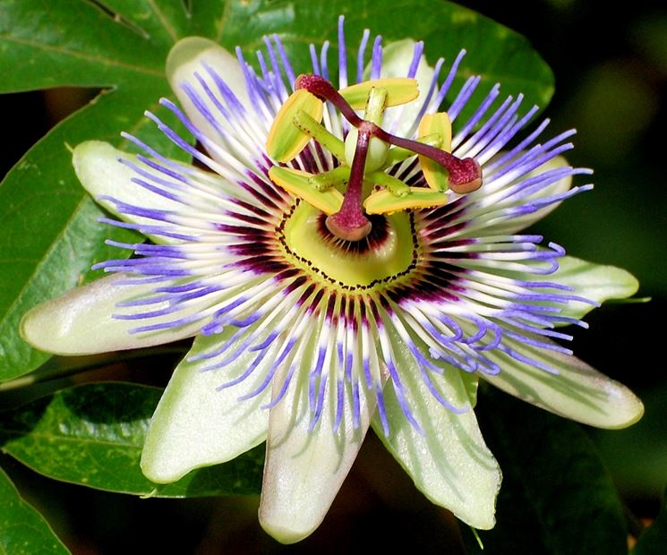 Passiflora Incarnata Passion Flower Maypop Master Gardeners Of